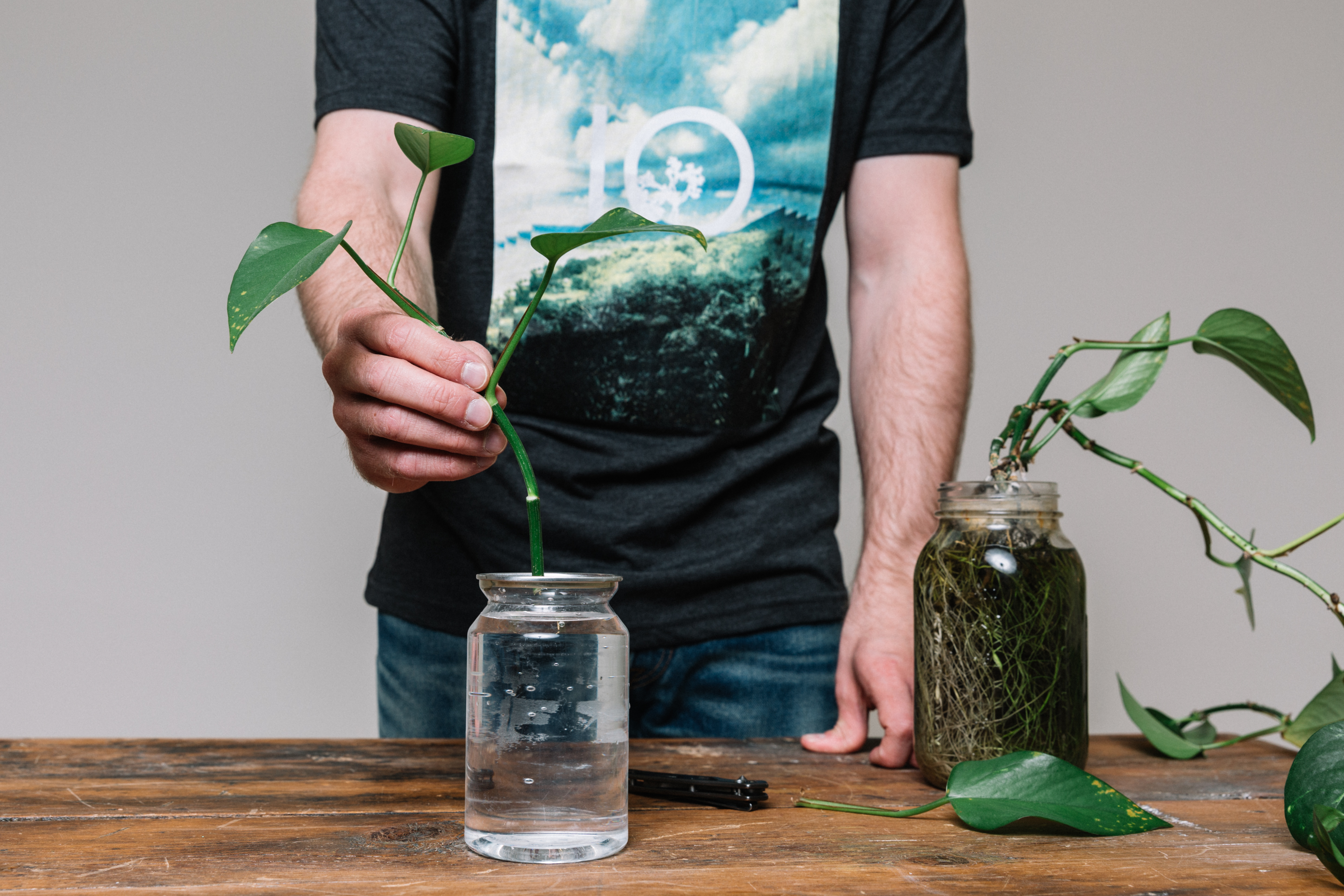 Placing the cutting in a jar of water.